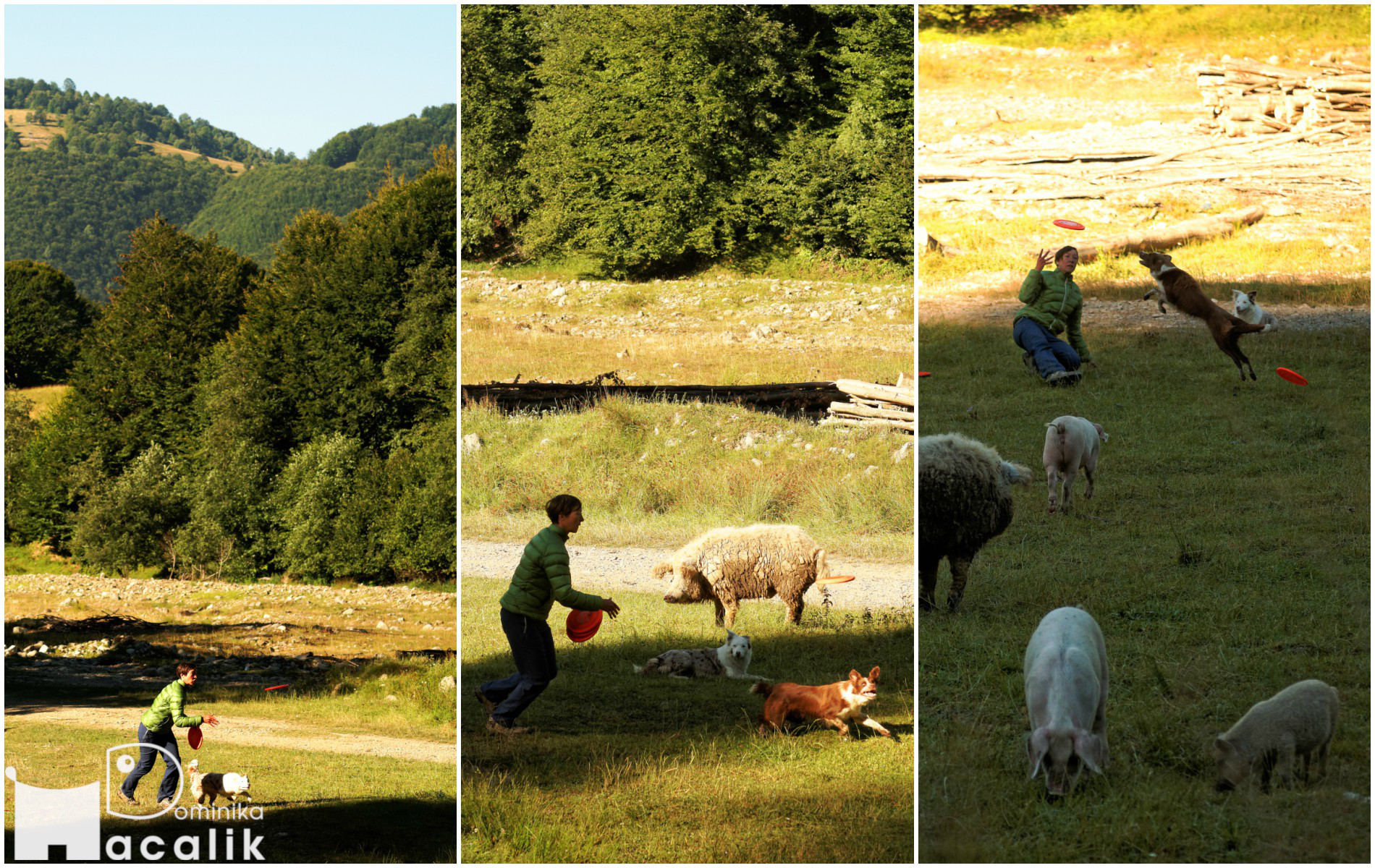 Zdjęcie z świnkami, które także chcą spróbować się w dogfrisbee