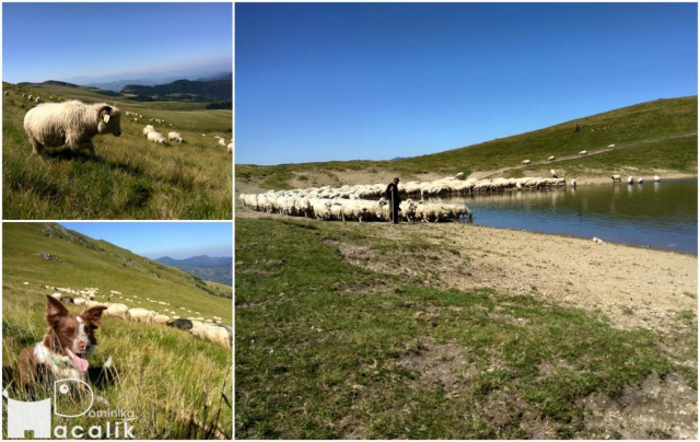 Na zdjęciu stado owiec wypasanych w wyższych partiach Maramureszu